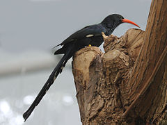 Green Woodhoopoe RWD1.jpg