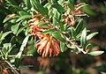 Grevillea Apricot Charm.jpg