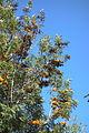 Grevillea robusta - Leaning Pine Arboretum - DSC05464.JPG
