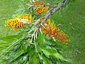 Grevillea robusta leaves and flowers 3.jpg