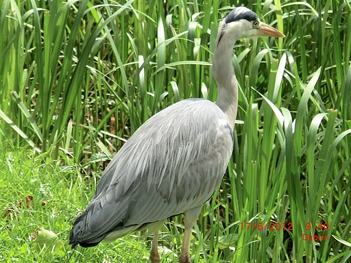 Grey Heron prowling the banks of the Grand Canal in Dublin - panoramio