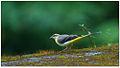Grey Wagtail (Motacilla cinerea) by Dharani Prakash.jpg