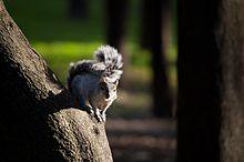Grey mexican squirrel.jpg