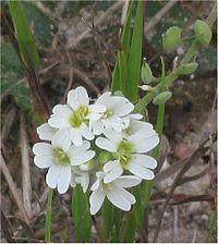 Grijskruid bloemen(Berteroa incana)