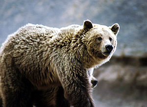 E Grizzly am Yellowstone Nationalpark.