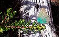 Groen busksommerfugl.jpg