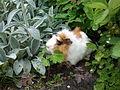 Guinea pig in garden.jpg