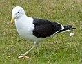 Gull (1) (10935550854).jpg