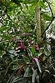 Guzmania wittmackii (Bromeliaceae) (29883215993).jpg