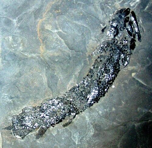 Gyroptychius