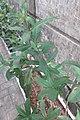 HK Sheung Wan 老沙路街 Rozario Street plant Allamanda schottii cross green leaves October 2017 IX1 11.jpg