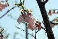 Halesia carolina Arnold Pink 2zz.jpg