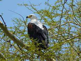 Haliaeetus vocifer -Malawi -perching in tree-8b.jpg