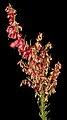 Haloragodendron glandulosum - Flickr - Kevin Thiele (1).jpg