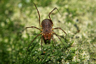 Hard Bodied Harvestman 01.jpg