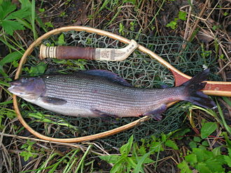 Thymallus - Catch of grayling (Thymallus thymallus), Lapland