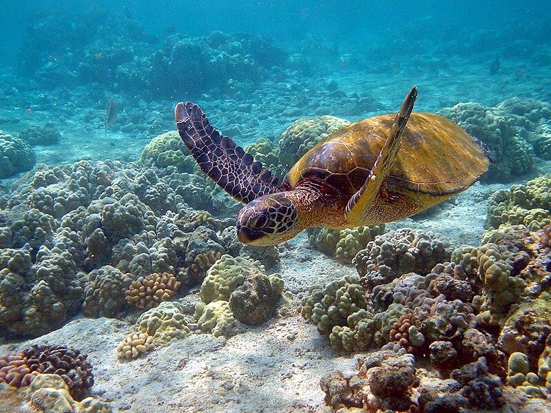 File:Hawaii turtle 2.JPG