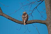 Hawk 3695.jpg