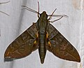 Hawkmoth (Eumorpha phorbas) (40985205051).jpg