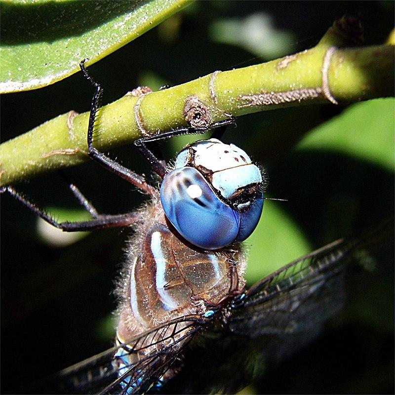 Bộ sưu tập Côn trùng - Page 2 800px-Head_of_dragonfly