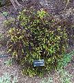 Hebe diosmifolia - UC Santa Cruz Arboretum - DSC07580.JPG