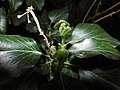 Hedera helix, Gemeiner Efeu, common ivy, Efeuknospen.jpg