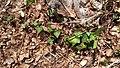 Hedera helix (Araliaceae) 01.jpg