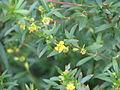 Heimia salicifolia (10650347004).jpg