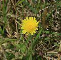 Heiracium sp.^ (a hawkweed) - Flickr - S. Rae.jpg