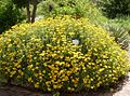 Helichrysum odoratissimum - fynbos garden.jpg