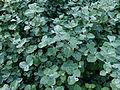 Helichrysum petiolare.JPG