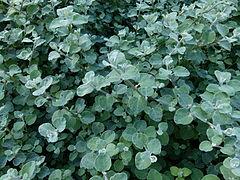 240px helichrysum petiolare