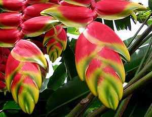 Flora of Colombia - Colombia has the second largest amount of heliconia species worldwide. Most of them are endemic species