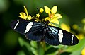 Heliconius sara on yellow flower.jpg