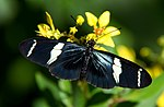 File:Heliconius sara on yellow flower.jpg