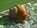 Helix pomatia edible snail Weinbergschnecke 01.jpg