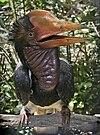 Helmeted Hornbill.jpg