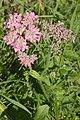 Heracleum austriacum subsp siifolium () IMG 9754.jpg