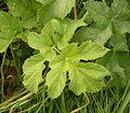 Heracleum sphondylium 01 ies.jpg