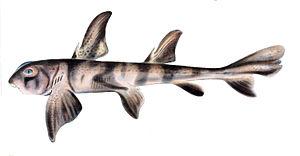 Bullhead shark - Image: Heterodontus zebra
