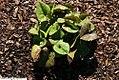 Hexastylis arifolia 2zz.jpg
