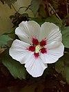 Hibiscus syriacus 003.jpg