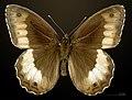 Hipparchia fagi MHNT CUT 2013 3 30 Cahors male dorsal.jpg