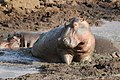 Hippo Mud.jpg