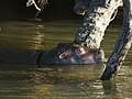 Hippopotamus amphibius (juvenile).jpg