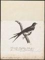 Hirundo rufifrons - 1796-1808 - Print - Iconographia Zoologica - Special Collections University of Amsterdam - UBA01 IZ16700139.tif