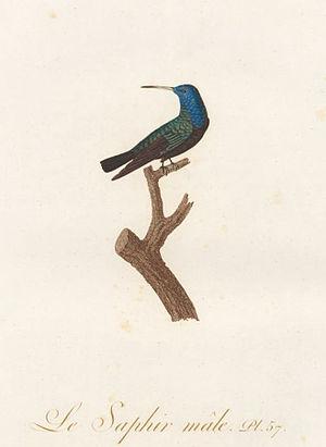 Jean-Baptiste Audebert - Le Saphir Plate 57 of Histoire des colibris, oiseaux-mouches, jacamars et promerops
