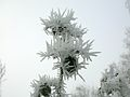 Hoar Frost on Rose.JPG