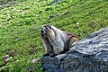 Hoary Marmot in Glacier National Park.jpg