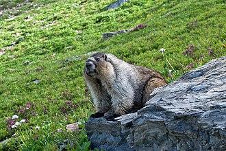 Hoary marmot - Hoary marmot in Glacier National Park